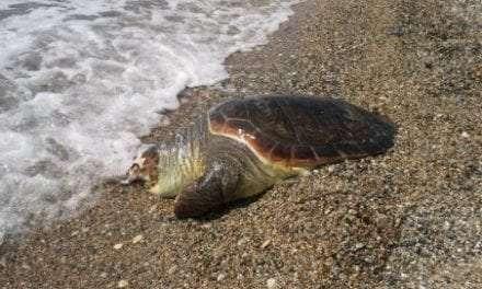 Νεκρή θαλάσσια χελώνα στη Σκάλα Αβδήρων